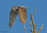 20100209 125 Northern Hawk Owl.jpg