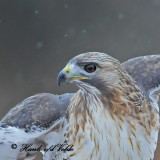 20100210 731 Red-tailed Hawk.jpg