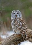 20100210 544 Barred Owl.jpg