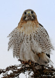 20100210 211 Red-tailed Hawk.jpg