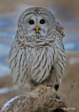 20100210 329 Barred Owl.jpg
