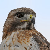 20100210 1524 Red-tailed Hawk2 NX2.jpg