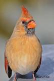 20100202 535 Northern Cardinal F.jpg