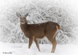 20100102 118 White-tailed Deer.jpg