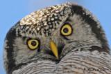 20100304 262 Northern Hawk Owl.jpg
