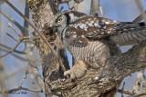 20100222 301 Northern Hawk Owl SERIES.jpg