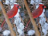 20100224 253 254 Northern Cardinal xxx.jpg