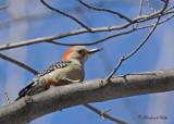 20100308 077 Red-bellied Woodpecker (F).jpg