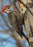 20100310 056 Pileated Woodpecker (M).jpg