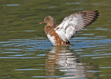 gadwalls_and_harlequins