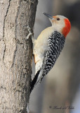 20100308 093 Red-bellied Woodpecker SERIES.jpg