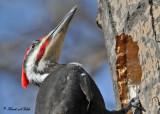 20100319 070 Pileated Woodpecker SERIES.jpg