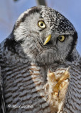 20100304 439 Northern Hawk Owl.jpg
