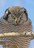 20100304 145 Northern Hawk Owl SERIES.jpg