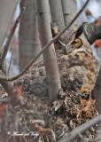 20100330 027 Great Horned Owl.jpg