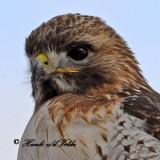 20100210 1587 Red-tailed Hawk2a NX2.jpg