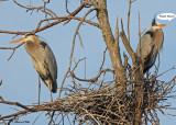 01 20100403 083 Great Blue Heron SERIES.jpg