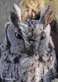 20100419 357 Eastern Screech Owl.jpg