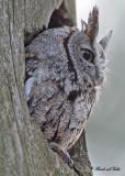 20100419 446 Eastern Screech Owl.jpg