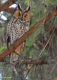 20100419 588 Long-eared Owl.jpg