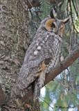 20100421 387 Long-eared Owl.jpg