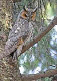 20100421 468 Long-eared Owl.jpg