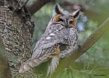 20100421 560 Long-eared Owl SERIES.jpg
