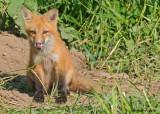 20090626 111 Red Fox Pup SERIES.jpg