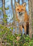 20100420 075 Red Fox SERIES.jpg