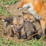 20100420 516 Red Foxes SERIES.jpg