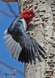 20100423 386 Red-headed Woodpecker.jpg