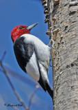 20100423 384 Red-headed Woodpecker.jpg