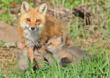 20100420 315 Red Foxes SERIES.jpg