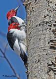 20100423 497 Red-headed Woodpeckers.jpg