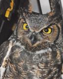 20100430 050 Great-Horned Owl.jpg