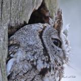 20100419 463 Eastern Screech Owl.jpg