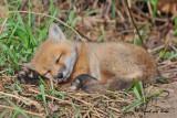 20100430 099 Red Fox Pup SERIES.jpg