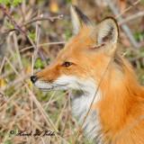 20100420 508 Red Fox SERIES.jpg