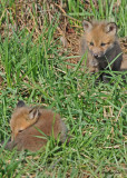 20100420 861 Red Foxes.jpg