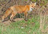 20100420 500 Red Fox SERIES.jpg