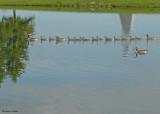 20090613 253 Canada Geese.jpg