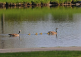 20090512 001 Canada Geese.jpg