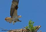 osprey_2007