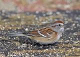 sparrows_2007