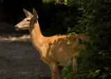 DSC_0018 Deer.jpg