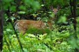 DSC_0021 Deer.jpg