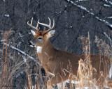 20071205 077 Deer - Buck.jpg