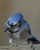blue_jays-2007