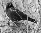 20080322 002 American Crow SERIES.jpg