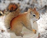 20080328 019 Red Squirrel SERIES.jpg